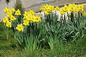 English: Daffodils at Longdon Daffodils in the...