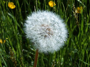 English: Dandelion clock (Taraxacum officinale...