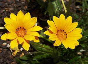 Yellow flowers of Gazania rigens