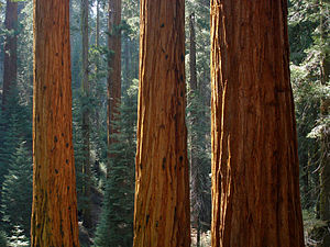 Giant Sequoia in Redwood Canyon glowing in aft...