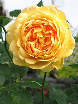 Rosa cv 'Golden Celebration', ER, David Austin...