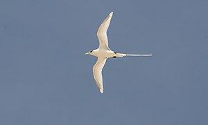 "Phaethon lepturus (""White-tailed Tropicbi..."