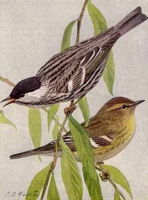 BLACK-POLL WARBLER. Male and Female.