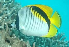 Lined Butterflyfish Wikipedia