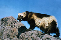 The Wolverine, generally only found in Lapland.