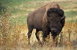 Bison Amerika