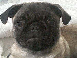 English: Betsy the Pug