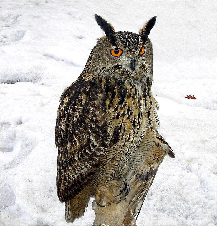 Eurasian Eagle Owl (Bubo bubo), Poland by Kamil