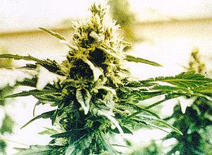Cannabis plant from http://www.usdoj.gov/ndic/...