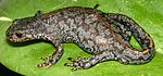 Mesotriton aplestris dorsal view chrischan.jpeg