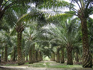 oil palms in malaysia
