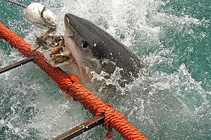 white shark attack on cage in False Bay South ...