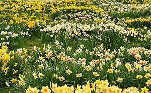 English: Daffodils at Brodie Blocks of Daffodi...