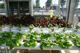 Hydroponics with leafy vegetables.