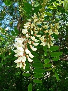 Robinier faux-acacia en fleur