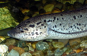 African Lungfish at Greater Vancouver Zoo.