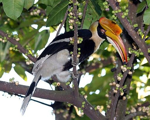 Buceros bicornis (female) -feeding in tree-8