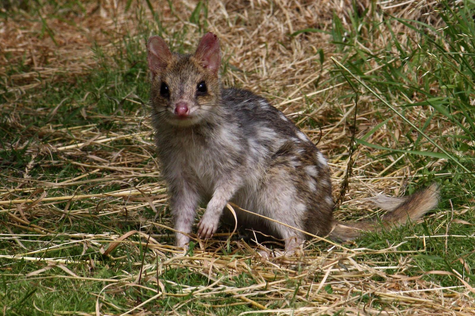 File:Eastern Quoll (Fawn).jpg