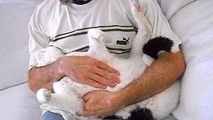 English: Cat receiving Reiki Español: Gato rec...