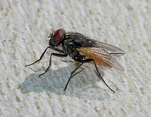 Common house fly (Musca domestica).