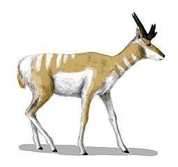 Osbornoceros, el antepasado de los antílopes que vivió en el Mioceno