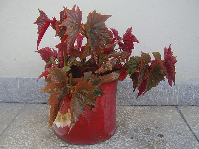 Angelwing Begonia in a pot
