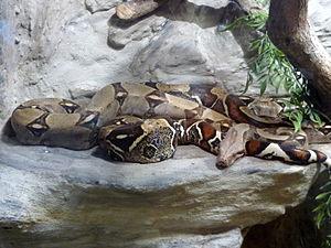 Boa constrictor, Terra Fauna exibition in shop...