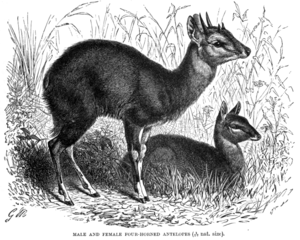 Chausingha, Four horned antelope Tetracerus qu...