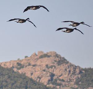 English: Canada Geese flying near Lake Lawtonka.