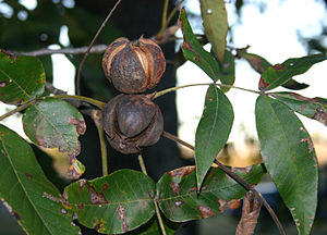 Ripe hickory nuts ready to fall, Andrews, SC