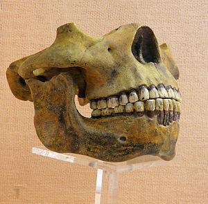 English: Jaws of Homo heidelbergensis; mandibl...