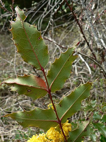 Tall Oregon-grape, Holly-leaved Barberry, Holl...