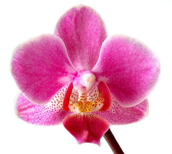 Blume – Wiktionary