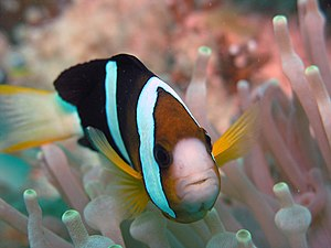 English: Image of a Clark's anemonefish. Amphi...