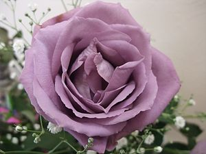 "English: Blue Rose ""APPLAUSE"" 日本語: 青..."