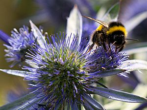 Bumblebee on Sea Holly