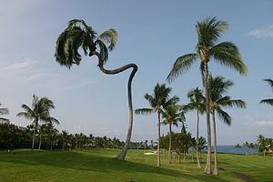 Coconut Palm at Big Island of Hawaii