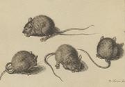 Rappresentazione di un topo in quattro posizioni, di Jacques de Gheyn (1565-1629)