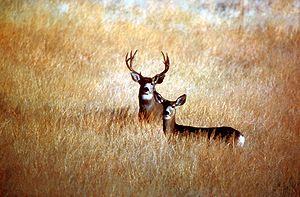 Mule deer (Odocoileus hemionus) in Modoc Count...