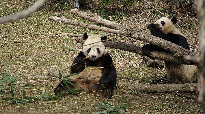 File:Pandas eating bamboo Washington Zoo.JPG