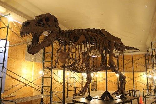 SUE Tyrannosaurus New Mount.jpg
