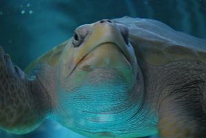 Sea turtle at the National Turtle Center in Ma...