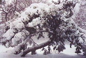 Snow on a pine tree in Prospect Park in Brooklyn