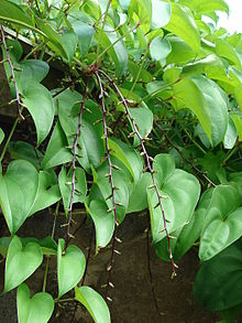 Image of purple yam plant with green, healthy leaves