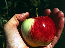 wild apple photo from wikipedia