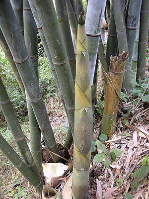 Bambusspross, bamboo shoot, Guangxi, China