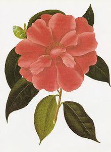 Camellia Wikipedia