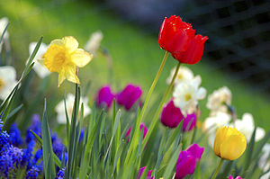 Garden with some tulips and narcissus