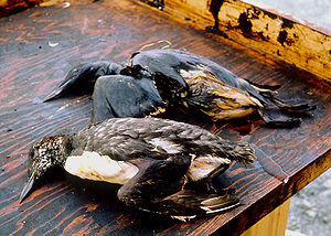 Birds killed as a result of oil from the Exxon...