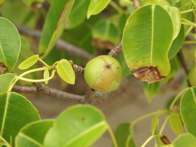 File:Hippomane mancinella (fruit).jpg